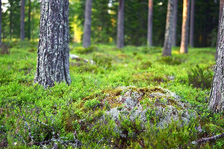 Finland, Savonlinna, Kerimaki, forest, trees, nature